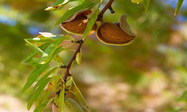 cây hạnh nhân trồng ở đâu